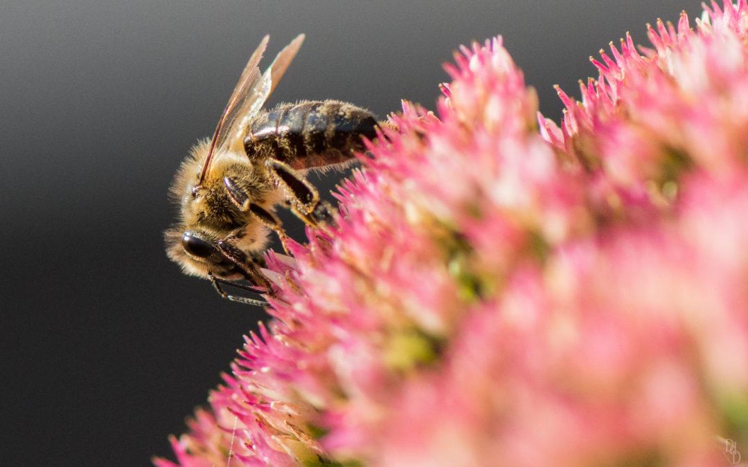 Du chlorure de lithium pour sauver les abeilles du parasite Varroa destructor?